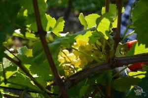 vinograd_01