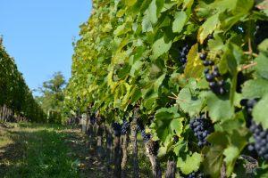 vinograd_03