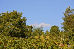 vinograd_04