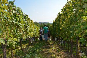 vinograd_08