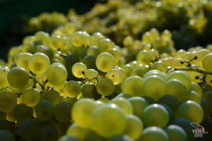vinograd_12