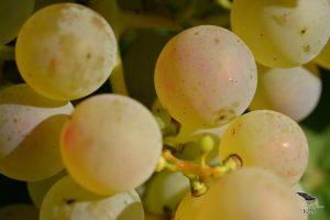 vinograd_13