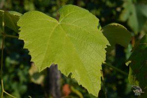 vinograd_15