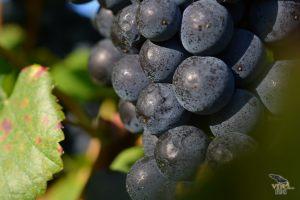 vinograd_18