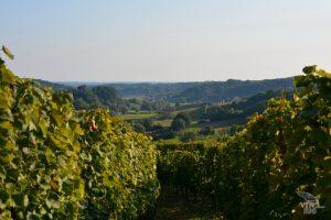 vinograd_20